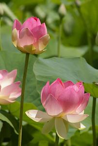 20130109_1239_0121 lotus