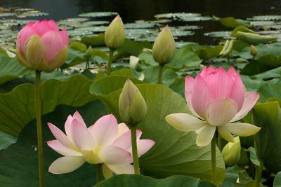 20130109_1305_6974 lotus