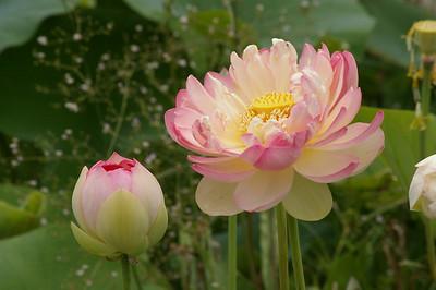 20130109_1454_146 lotus