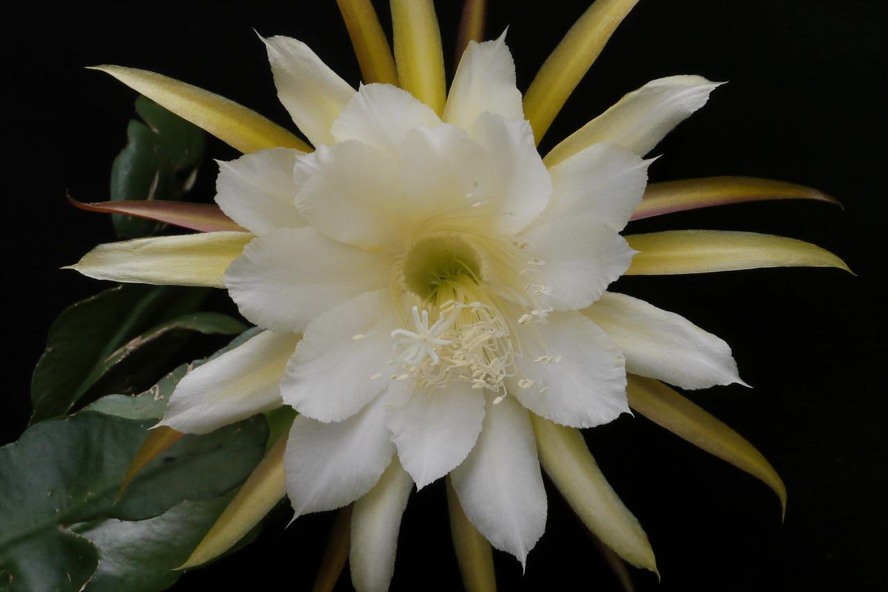 20121204_0753_6414 epiphyllum