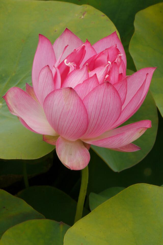 20130109_1408_7028 lotus