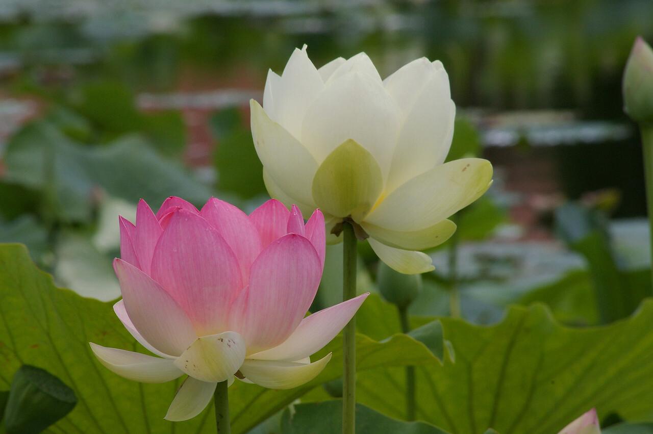 20130109_1221_0101 lotus
