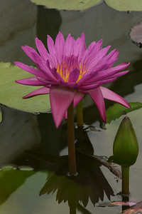 20130109_1219_6923 water lily