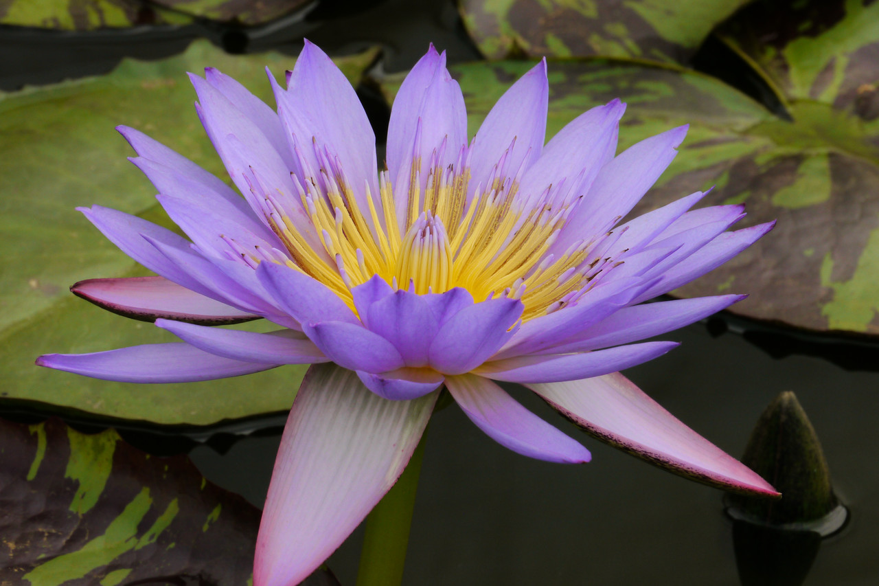20130109_1217_6917 water lily