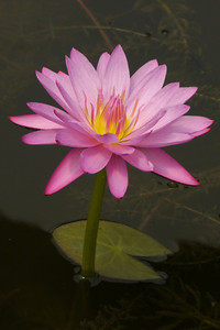 20130109_1417_7038 water lily