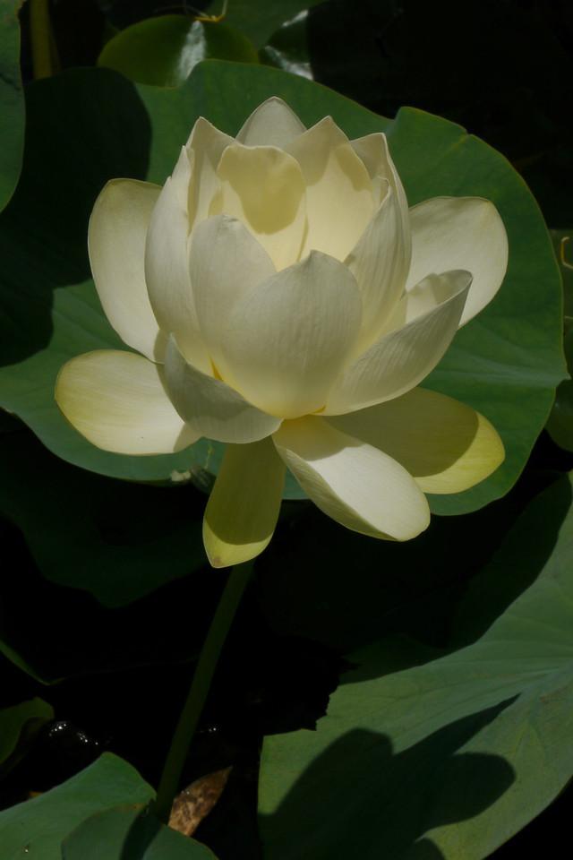 20130109_1127_6881 lotus