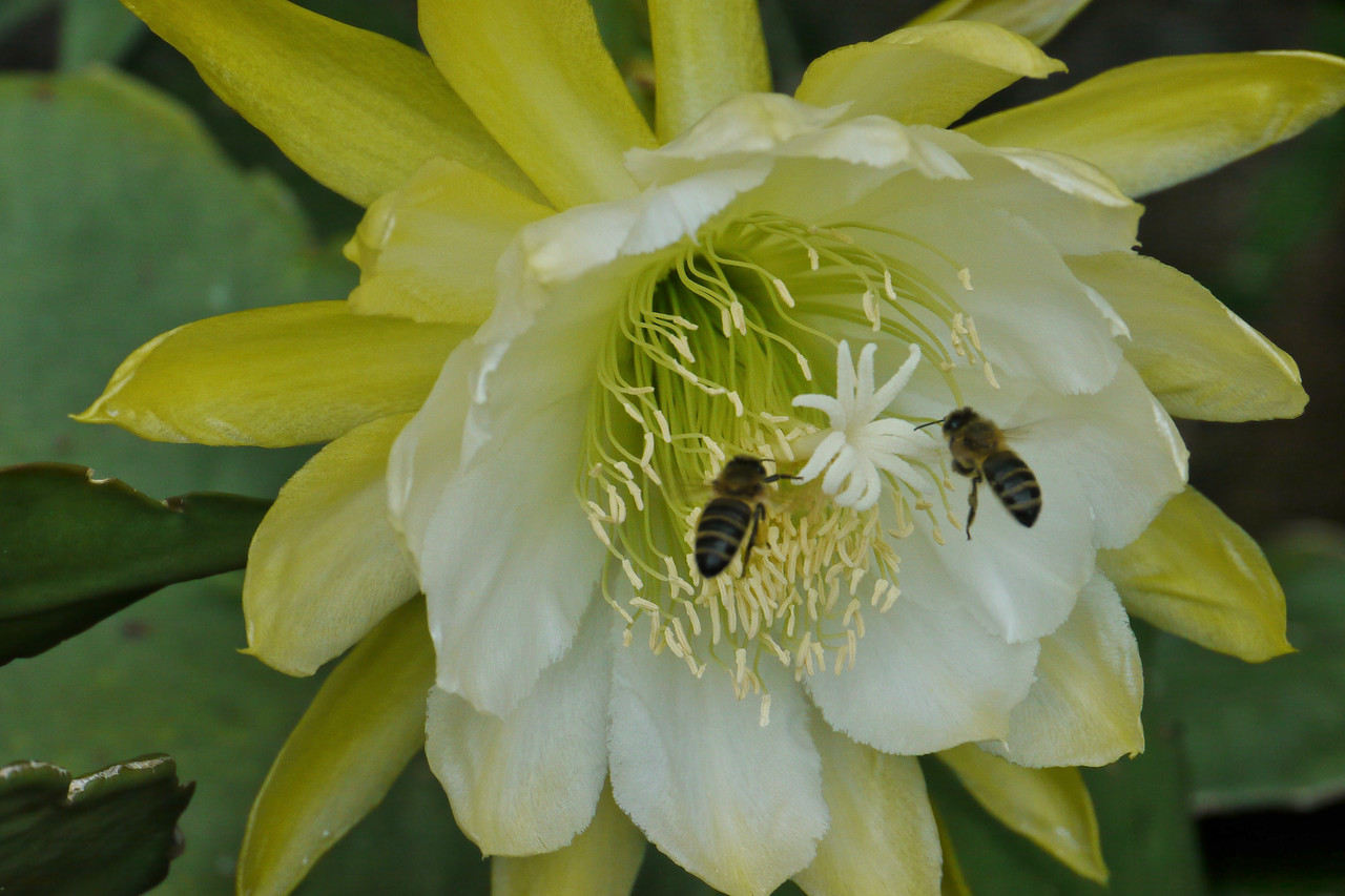 20121207_0801_6596 bees and epiphyllum