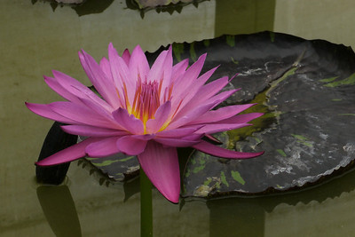 20130109_1223_6931 water lily