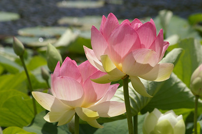 20130109_1241_0128 lotus