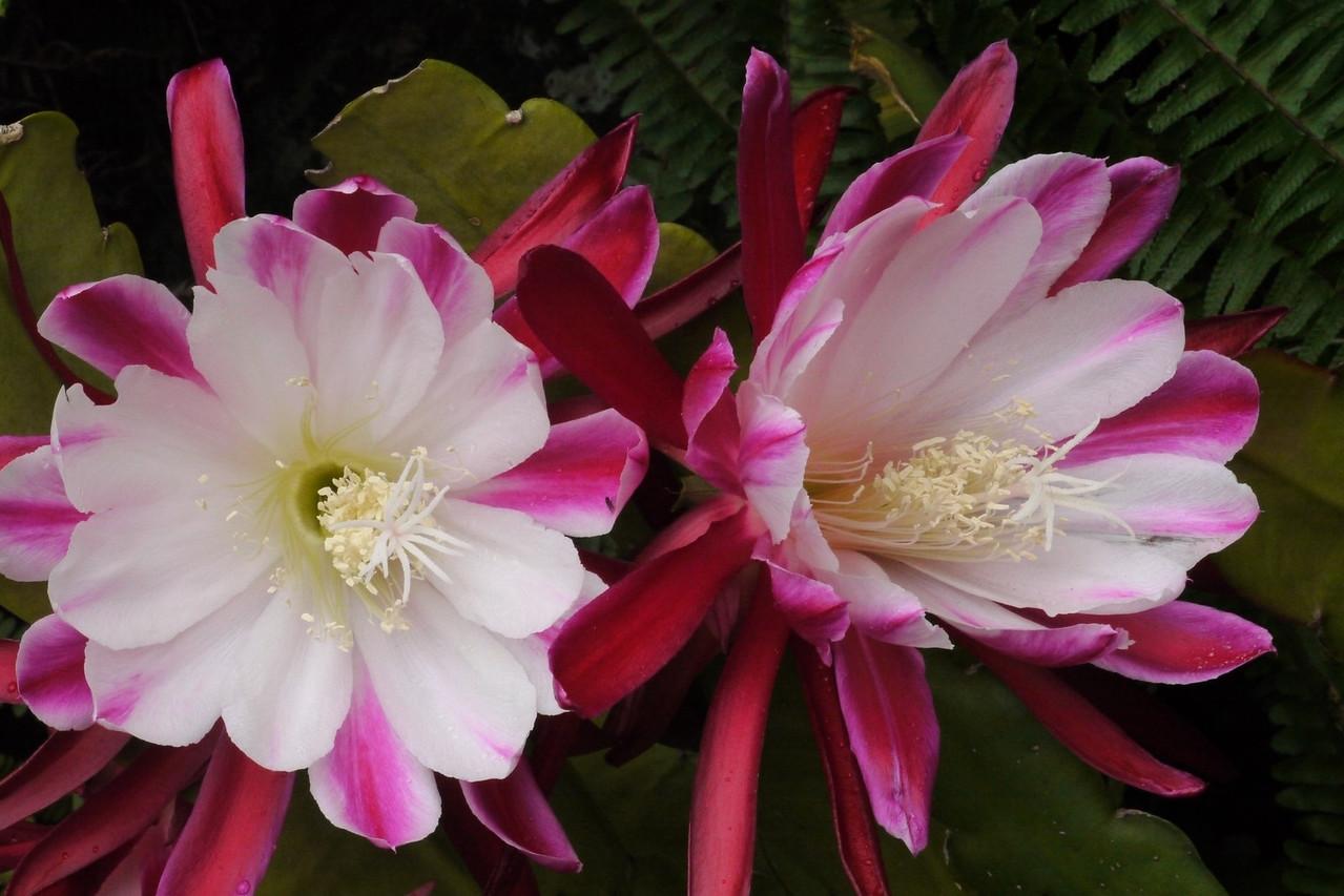 20121205_0945_6522 epiphyllum
