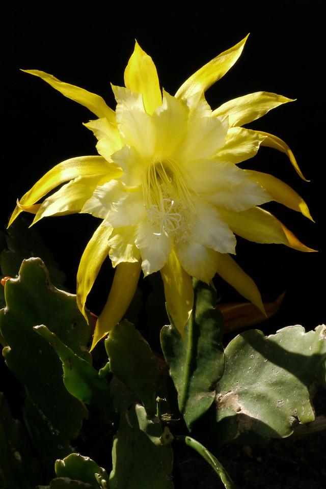 20121202_1455_6249 epiphyllum