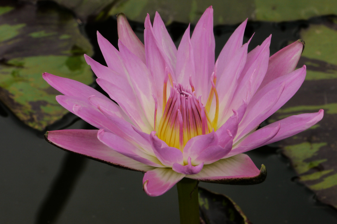 20130109_1217_6916 water lily
