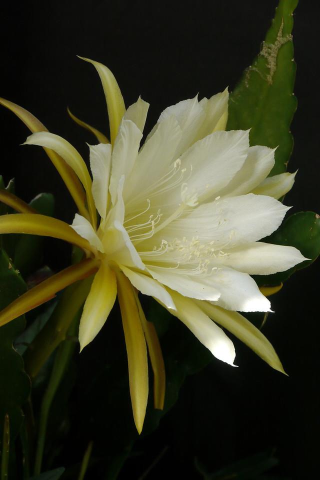 20121202_1539_6257 epiphyllum