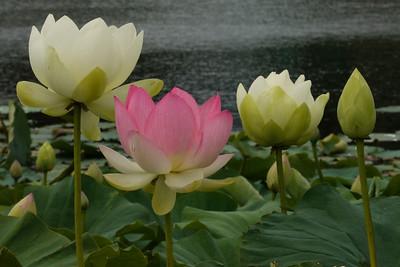20130109_1310_6986 lotus