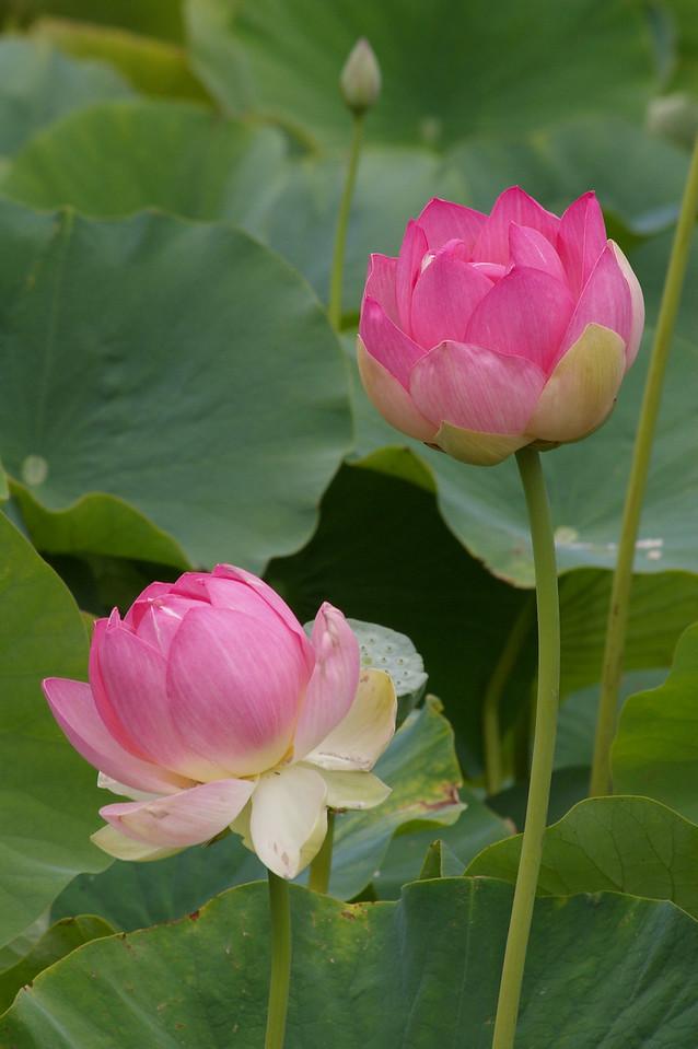 20130109_1132_0085 lotus