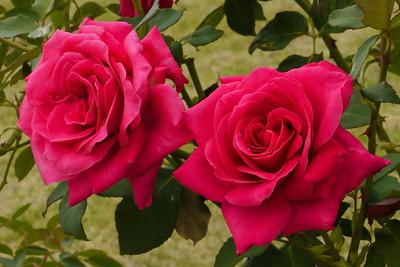 20130202_0843_7090 rose