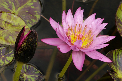 20130109_1409_7030 water lily