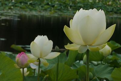 20130109_1123_6875 lotus