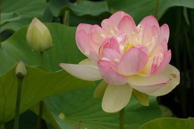 20130109_1025_6838 lotus