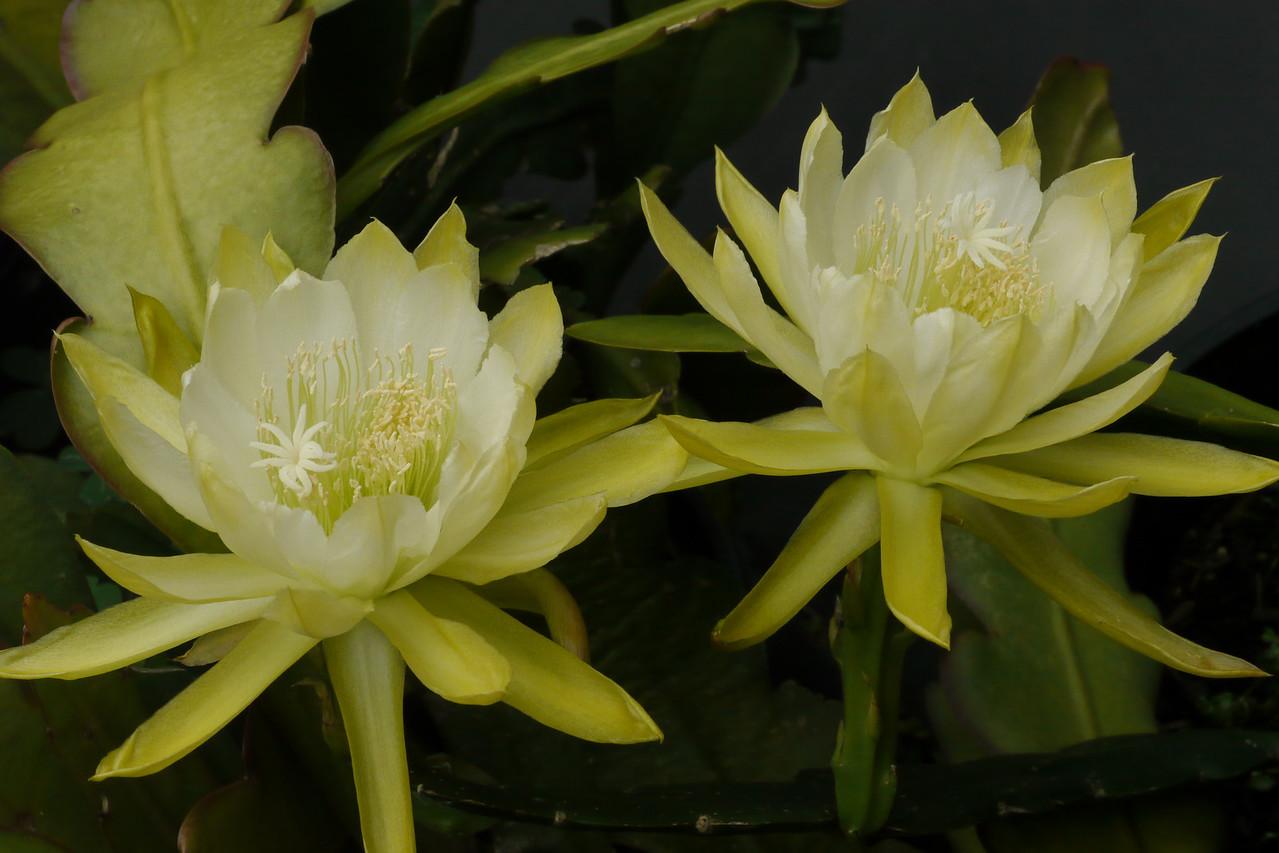20121203_0810_6328 epiphyllum
