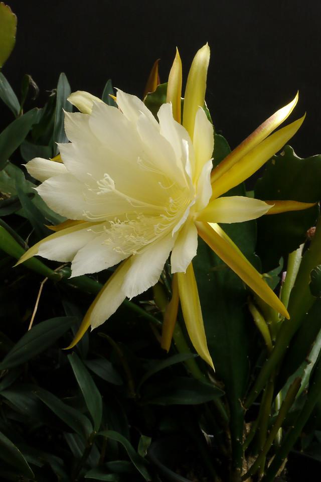 20121203_0914_6347 epiphyllum