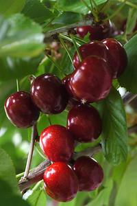 20121202_0826_6231 cherry