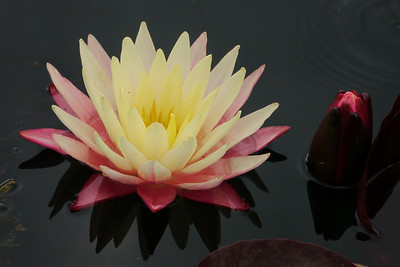 20130109_1055_6858 water lily