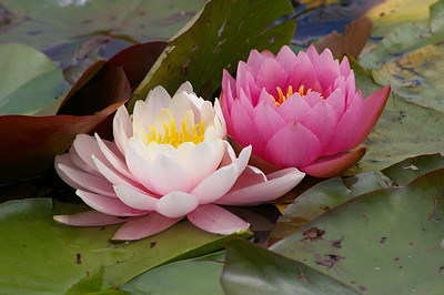 20130109_1148_0091 water lilies