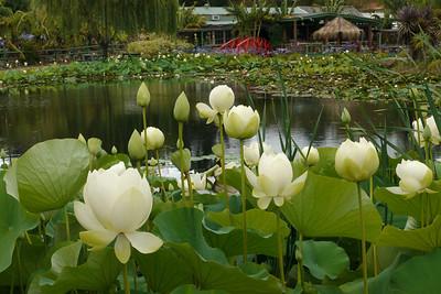 20130109_1016_6829 lotus garden, Yarra Junction