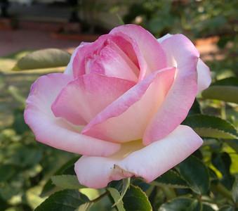20130223_1003_036 rose