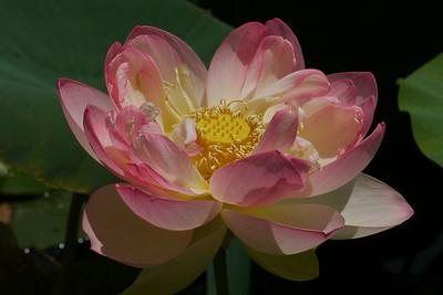 20130109_1137_6893 lotus