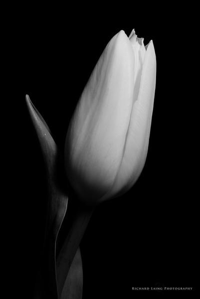 2014-6-15 | Tulip