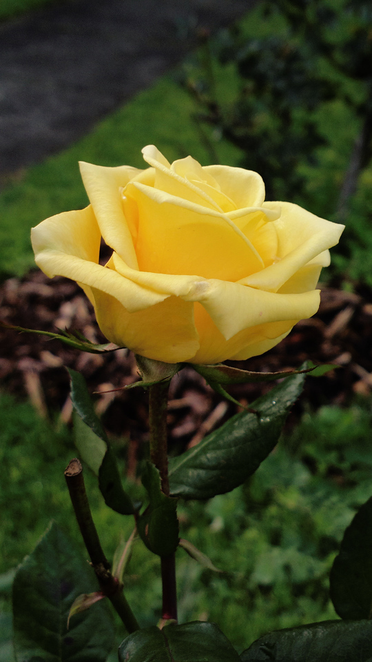 20140727_1229_0455 rose (Kew RSL, VIctoria)