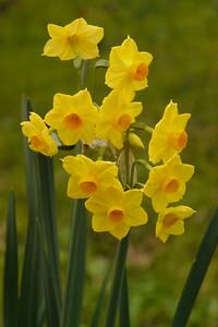 20140621_1059_6871 daffodil