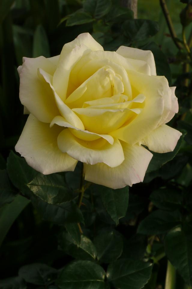 20140610_1541_6789 rose