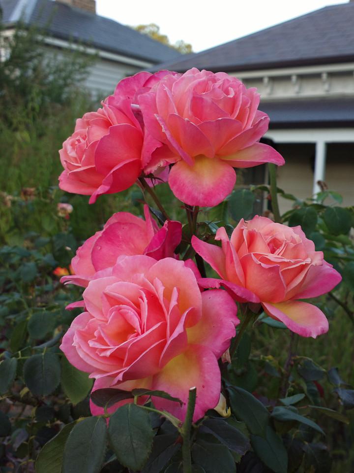 20140319_1908_0389 roses (Kensington)