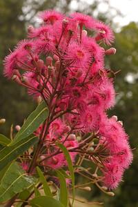 20140311_0847_6195 flowering gum