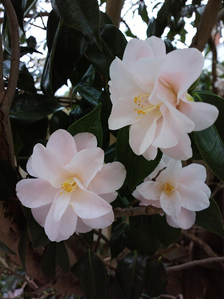 20140614_1021_0426 camellia