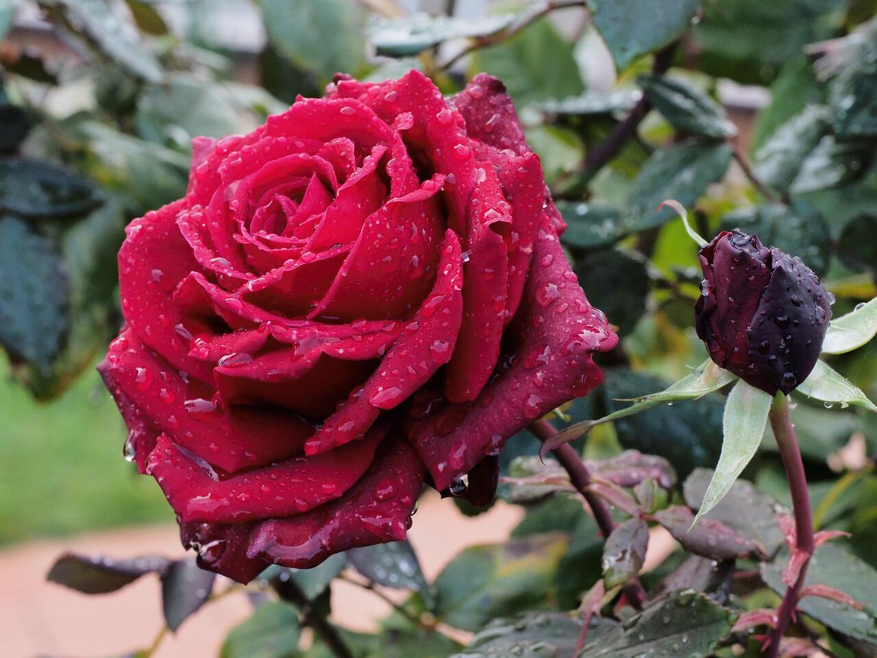 20140605_1005_2185 rose