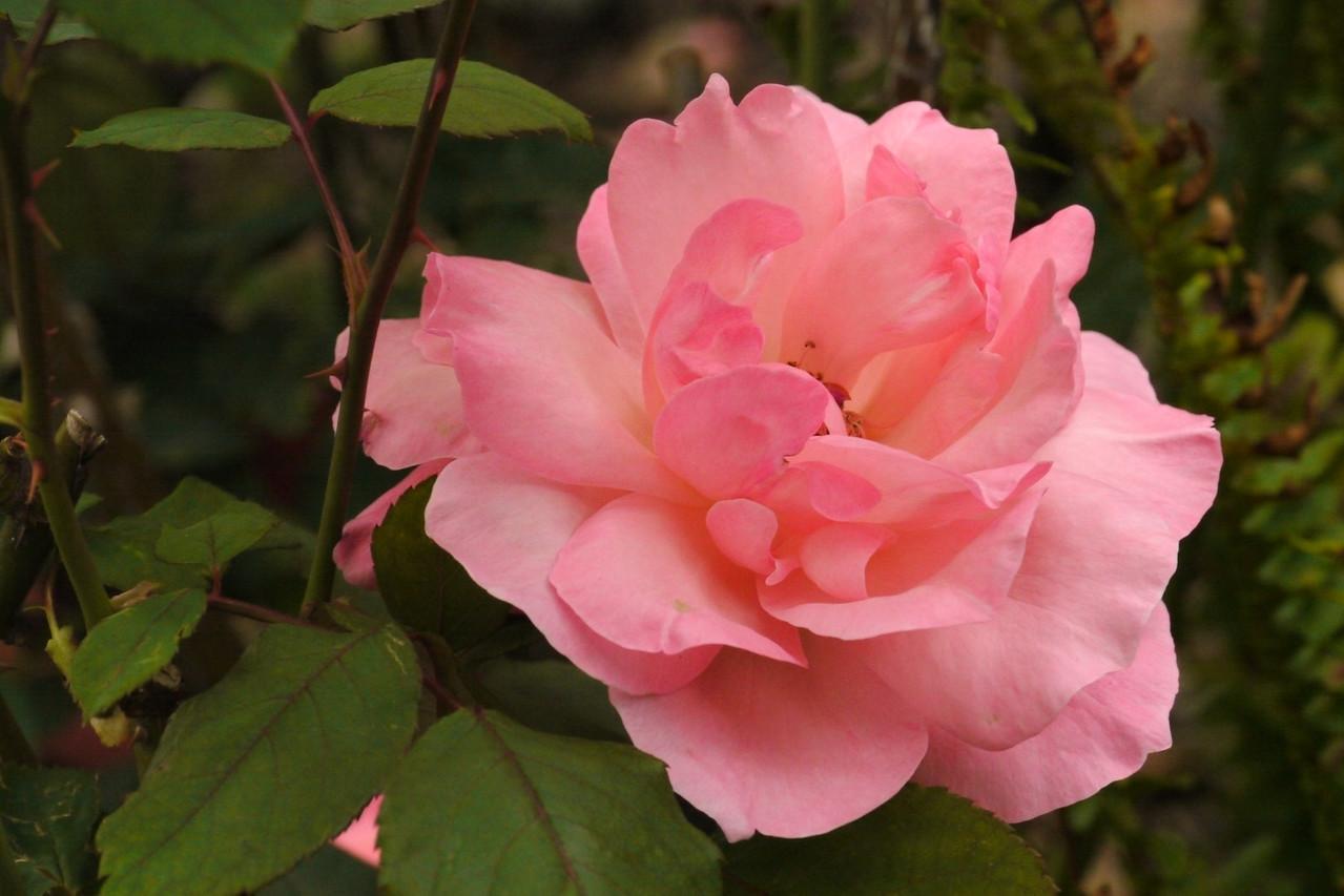 20140311_0825_6160 rose