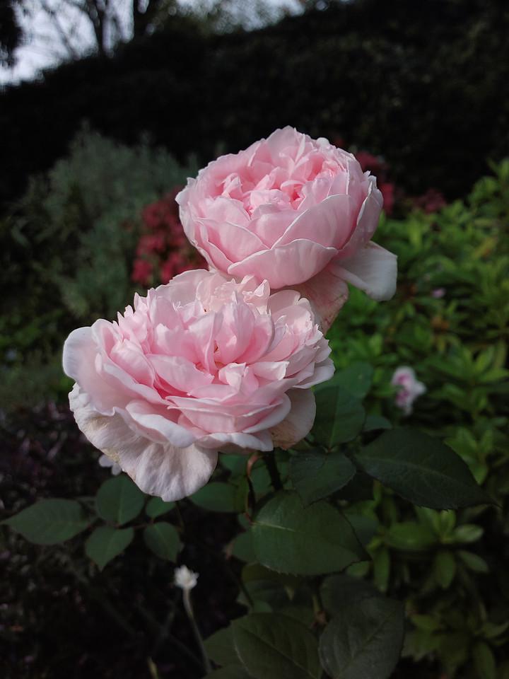 20140612_1008_0422 rose