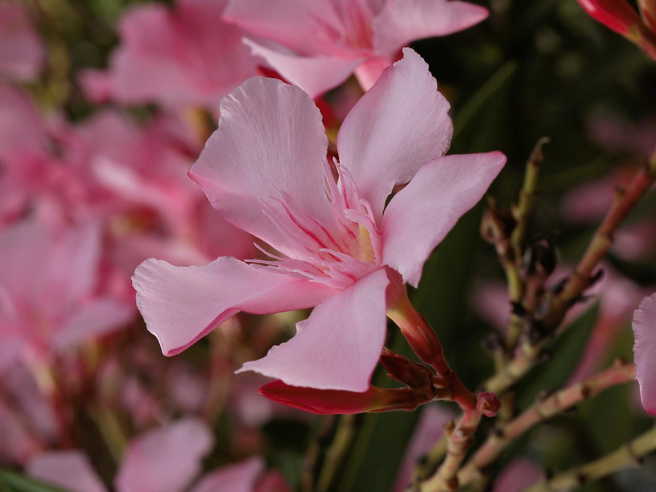 20130315_0948_1312 oleander (Nerium oleander)