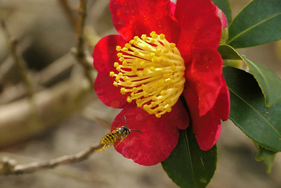 20140420_1107_6586 camellia and wasp