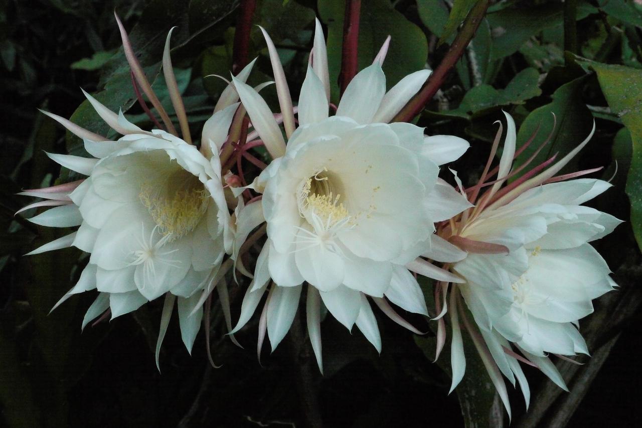 20140326_0655_6330 epiphyllum 昙花