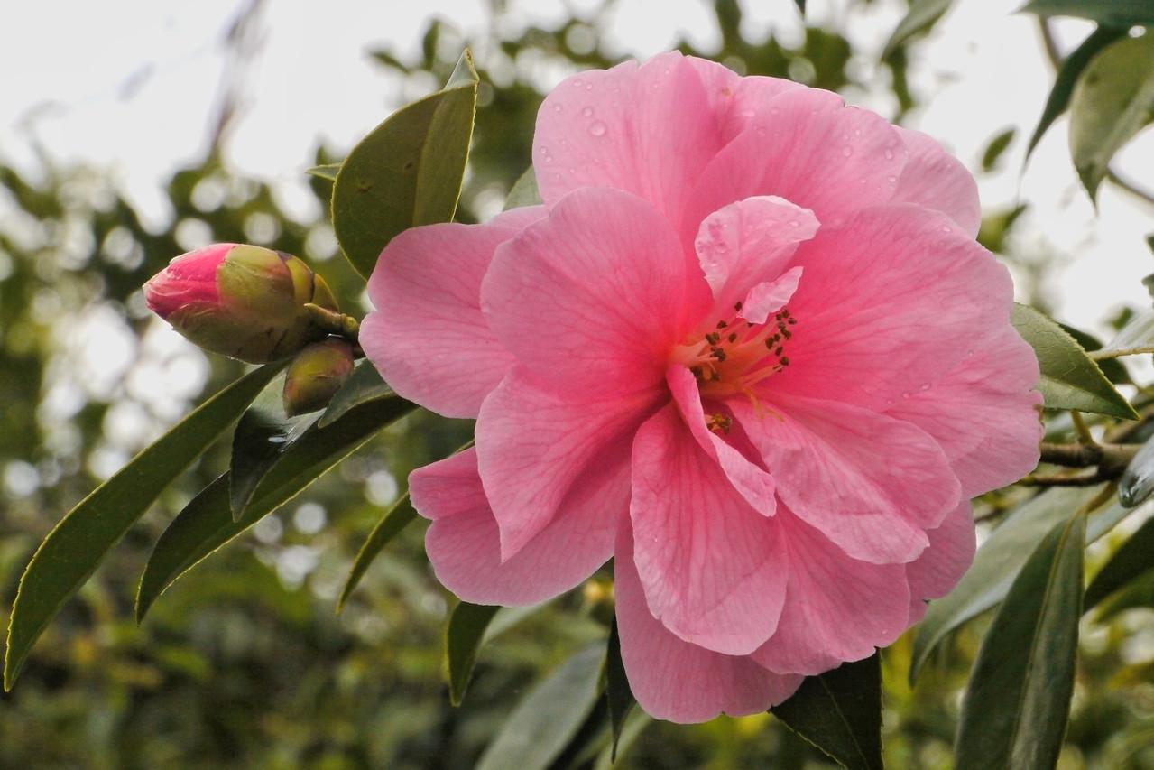 210140621_1222_6882 camellia