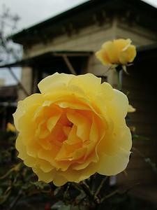 20140716_0821_0443 rose