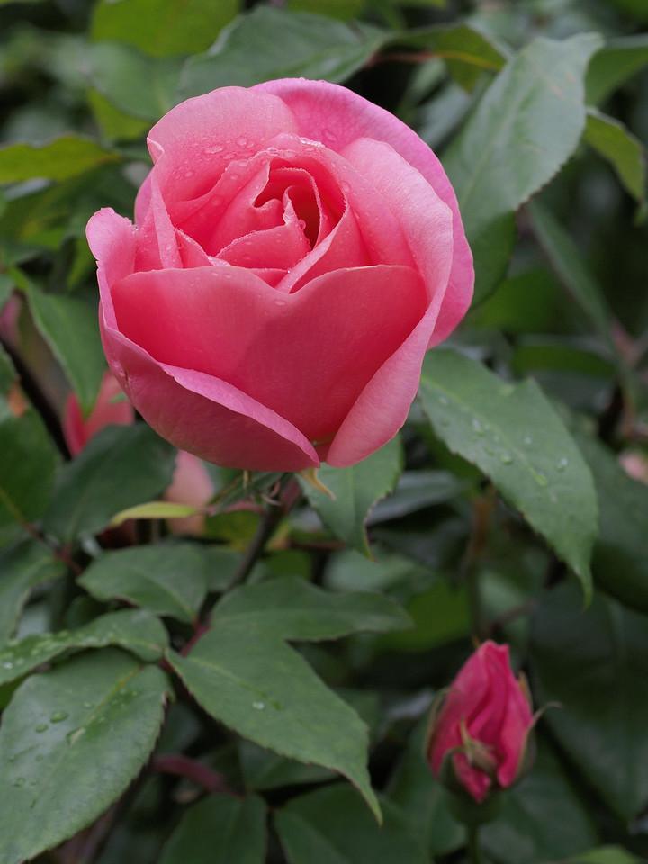 20140529_0923_2176 rose