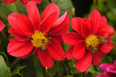 20140311_0919_6225 dahlia and bees