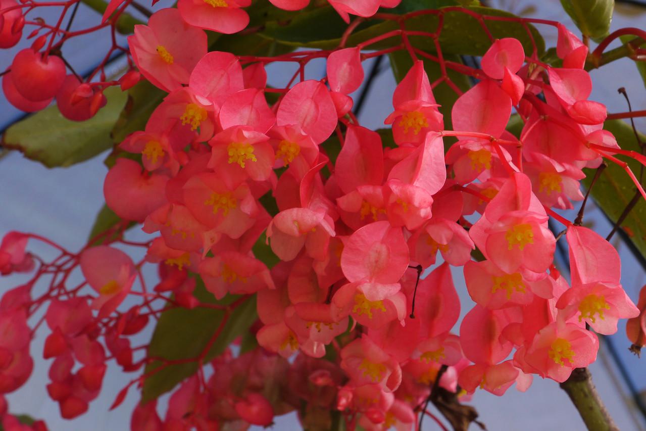 20140330_0844_6402 tree begonia