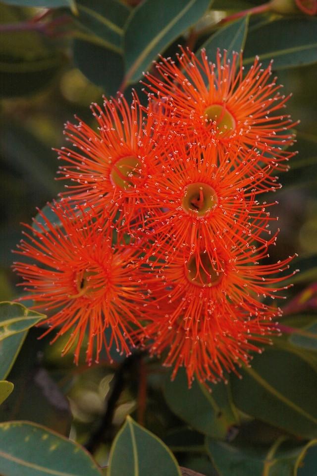 20140313_0814_6297 flowering gum